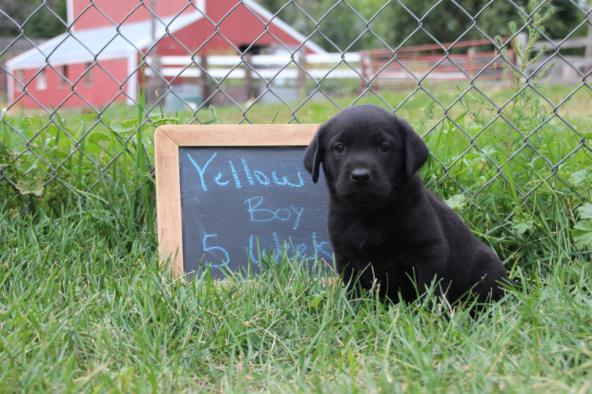 Black Lab for Sale