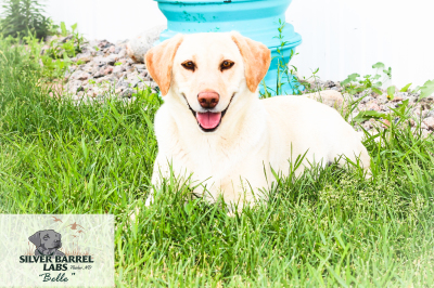 Yellow Lab Sale