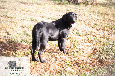 Black Lab Sale